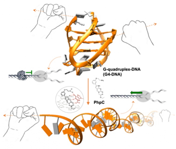 Publication: G-quadruplex (G4)-destabilization: a promising strategy to curb neu...